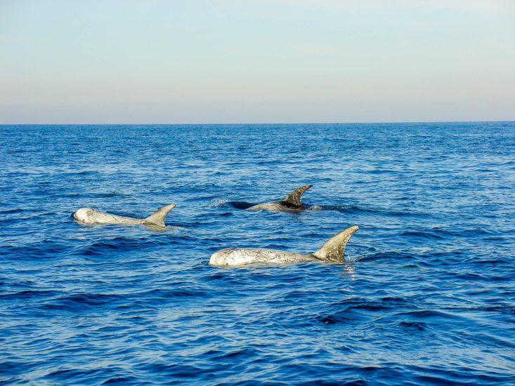 Sortie en mer avec Explore Océan: observation des dauphins de risso sur un catamaran