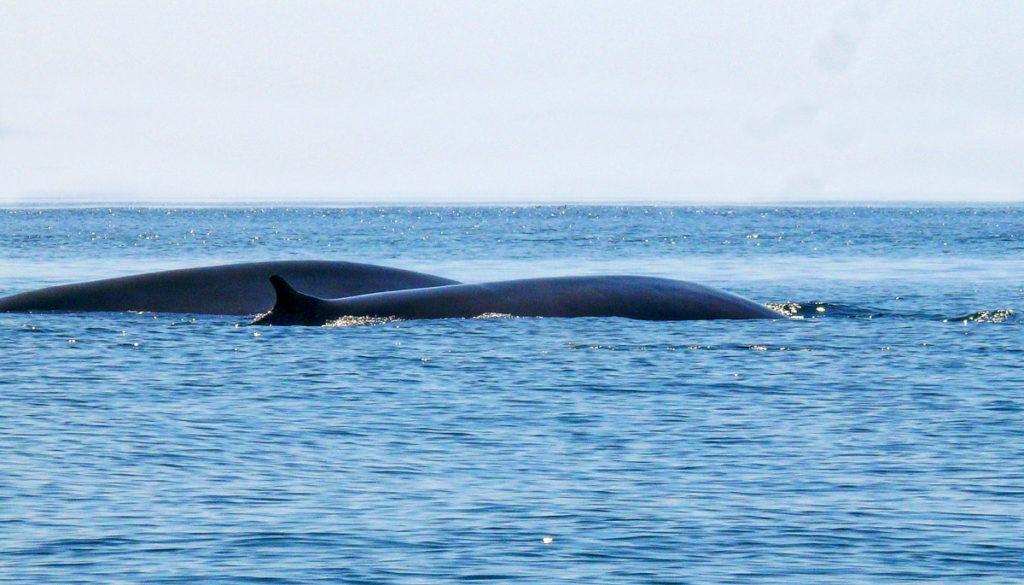 observation de rorqual commun Rorqual commun au pays basque avec explore ocean, balein pays basque cétacé whale watching tourisme nature ecotourisme sudouest
