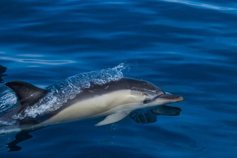 les dauphins communs l'espèce la plus répandue sur la côte basque avec Explore Ocean