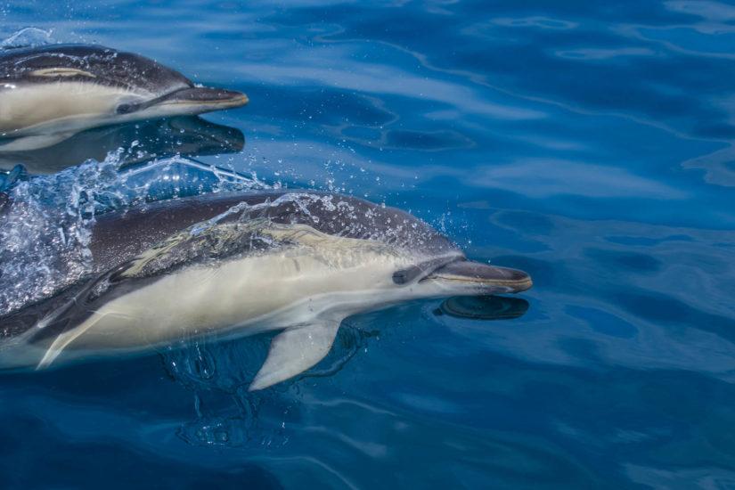 les dauphins communs l'espèce la plus répandue sur la côte basque whale watching Pays Basque observation des dauphins et des cétacés