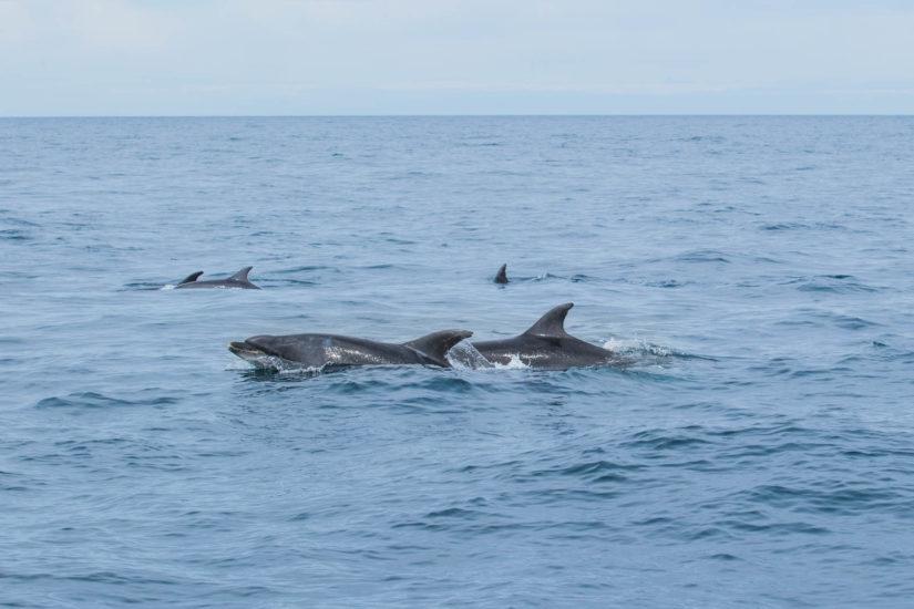 Les grands dauphins, espèces emblématiques de la côte basque, du Gouf de Capbreton. RDV à bord du catamaran Atalaya avec Explore Ocean