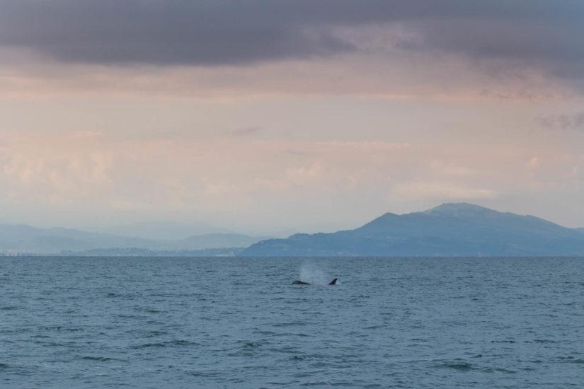 orque nature et océan à bord du catamaran Atalya avec Explore Ocean