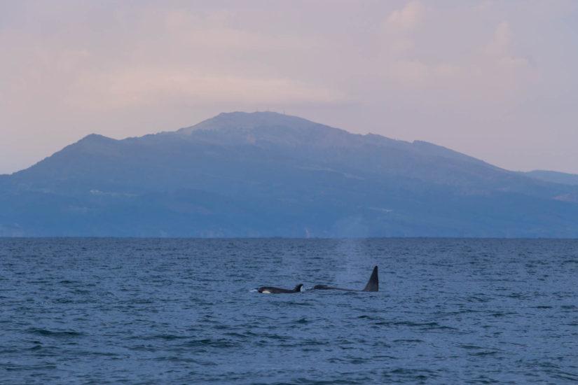un pod d'orques face au Jaizkibel au Pays Basque, Embarquez vous aussi à bord du catamaran Atalaya avec l'équipe d'Explore Ocean et les biologistes d'Itsas Arima