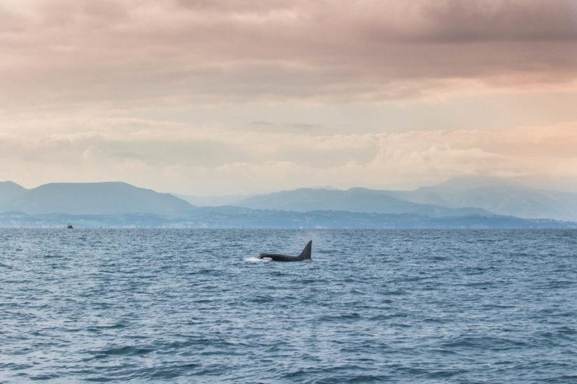 L'orque mâle une merveille de la nature que l'on peut observer au Pays Basque avec Explore Ocean