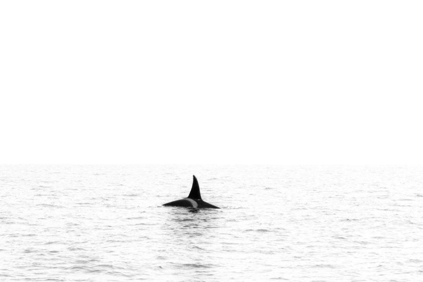 Les orques au Pays Basque, chaque année les reines de l'océan sont de passage sur nos côtes. Pour les observer embarquez avec Explore Ocean
