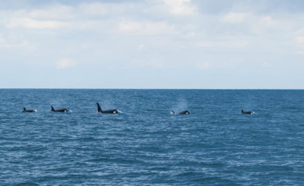 orques au Pays Basque, killer whale, whale watching France, whale watching Pays Basque, toursime au pays basque, a voir a faire a Saint Jean de Luz