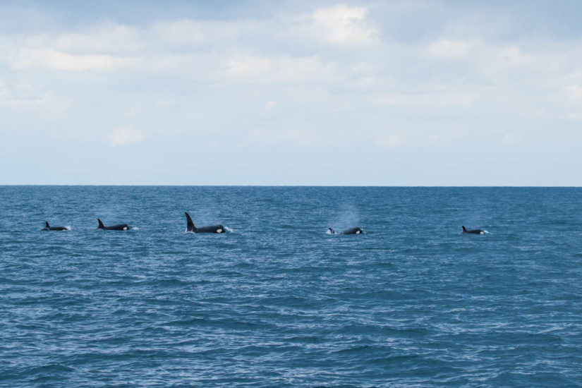 orques au Pays Basque, killer whale, whale watching France, whale watching Pays Basque, toursime au pays basque, a voir a faire a Saint Jean de Luz