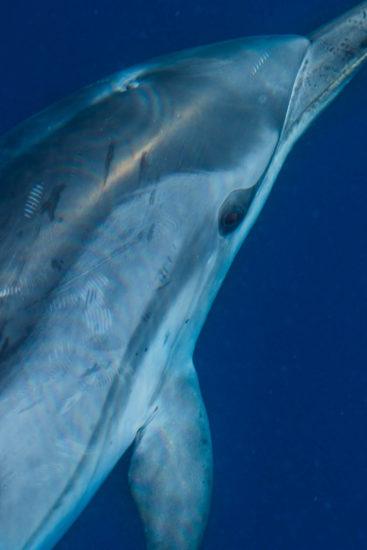 Observation des dauphins au Pays Basque, patrimoine maritime basque, balade en bateau au Pays Basque, sortie voilier au Pays Basque, quoi faire sur la côte basque