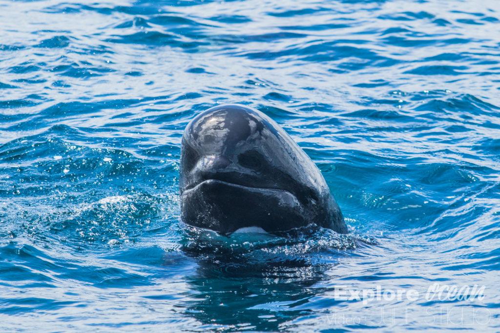 globicephale pays basque-explore ocean-whale watching-activité saint jean de luz-biarritz-catamaran-cote basque-bayonne