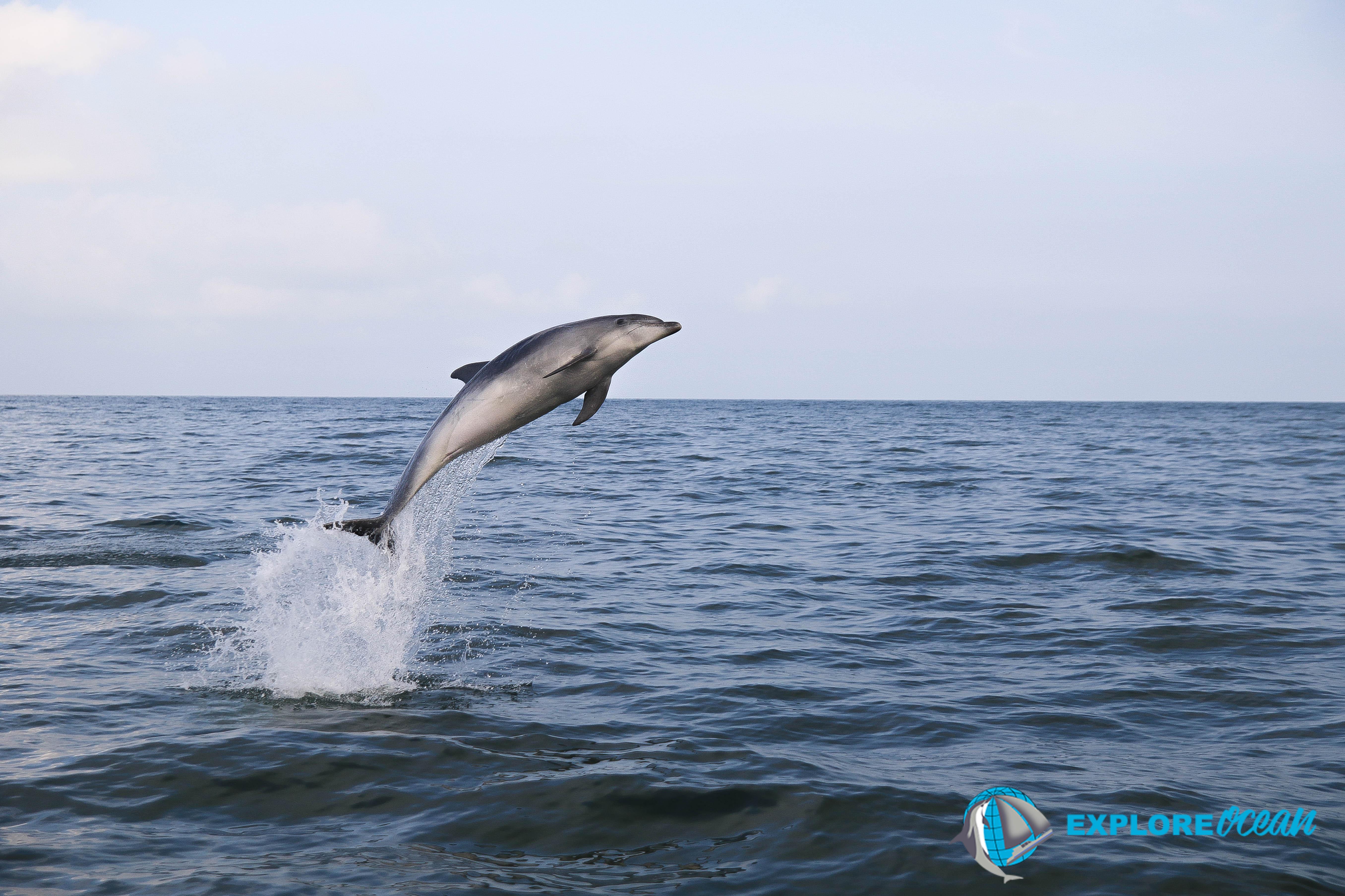 dauphin pays basque-dauphin cote basque- explore ocean-activite saint jean de luz-quoi faire au pays basque-whale watching france